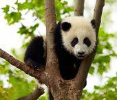 Großer Panda Baby über den Baum