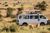 Lioness With Safari Car In The Masai Mara National Park, Kenya. Animal Wildlife. Safari Concept. Vac poster