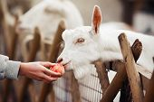 A White Little Goat Is Treated To A Ripe Apple From A Humans Hand. poster