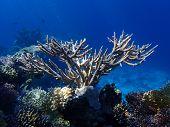Deer Horn Coral In The Ocean. Hard Stanghorn Coral In The Sea Near Coral Reef Deep Underwater. Schoo poster