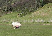Feeding Lamb Moments After Birth