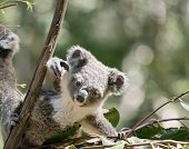 The Joey Koala Is Getting Some Leaves To Eat poster