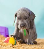 Purebred Blue Great Dane Puppy Exhausted With A Beach Ball poster