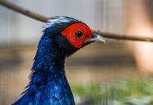 Male Edwardss Pheasant Face In Closeup, Tropical Bird From Vietnam, Critically Endangered Animal Sp poster