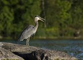 Heron Gagging Down A Fish