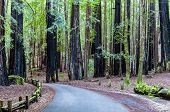 picture of redwood forest  - A Road Leading Through the California Redwood Forest at Big Basin - JPG