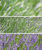 Lavender Panel