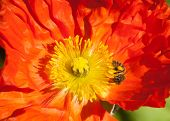 Orange Poppy, Yellow Stamen, Busy Bee