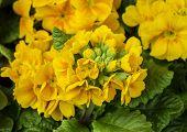 Schöne gelbe Primel