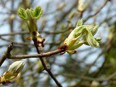 Chestnut Bud, Aesculus Hippocastanum