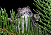 Tree Frog On Evergreen