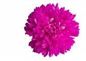 single bright pink dahlia flower blossom isolates on white background