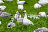 stock photo of snow goose  - Snow Goose and grass at richmond Canada