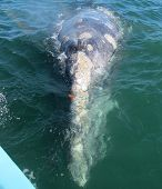 Gray whale approaching a boat