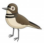 picture of killdeer  - An Illustration depicting a killdeer in side view - JPG