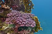 coral reef with violet stony coral at the bottom of tropical sea