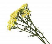 Common Yarrow Flower