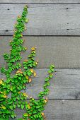 The Green Creeper Plant On The Wooden Wall For Background.