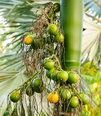 Closeup Ripe Areca Nut Or Areca Catechu, Raw Betel Nut
