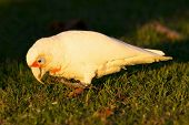 picture of cockatoos  - The Western Corella  - JPG