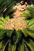 Cycas Revoluta,king Sago