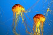 Two yellow-orange jellyfish with thin tentacles. Aquarium with bright blue water