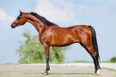 Front animal (Arabian horse - conformation).