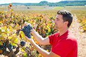 Winemaker harvesting Bobal grapes in mediterranean vineyard fields