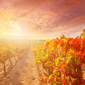 sunrise in vineyard at Utiel Requena tempranillo bobal grape vineyards spain