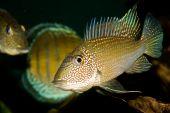Geophagus Type Fish Satanoperca Jurupari