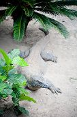 Comodo dragon in nature in  Komodo