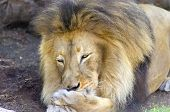 stock photo of long tongue  - A young adult male lion lying on its belly cleaning its paw by licking it with its tongue. The male panthera leo has a long yellow black mane and is called king of the jungle. ** Note: Soft Focus at 100%, best at smaller sizes - JPG
