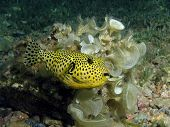 Juvenile giant puffer