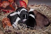 Newborn basenji puppies (first day)