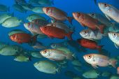 stock photo of bigeye  - School Crescent - JPG