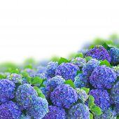 blue hortensia flowers border