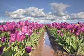 Rows Of Purple Tulip Flowers