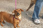 very happy dachshund mix