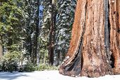 Land Of Giant Sequoias