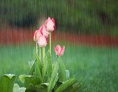 Blooming Flowers In Springtime Rain