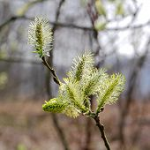 Blooming Willow Catkins
