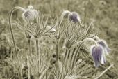 Few Flowers Pulsatilla Pratensis On The Spring Meadow