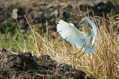 foto of erection  - A Squacco Heron  - JPG
