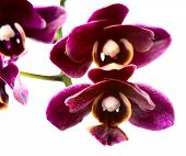 Blooming Branch Dark Sherry  Orchid, Phalaenopsis Is Isolated On White Background