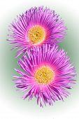 Carpobrotus Edulis(flower)