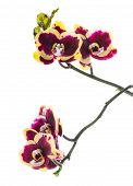 Blooming Beautiful Deep Purple With Yellow Bandlet Orchid Flower, Phalaenopsis Is Isolated On White