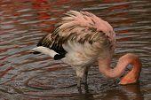 American Flamingo - Phoenicopterus Ruber
