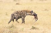 Female Hyena Walking With Chunk Of Baby Antelope In Her Mouth