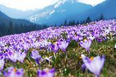 picture of monocots  - Purple Crocuses Meadow in the Tatra Mountains Poland Europe - JPG