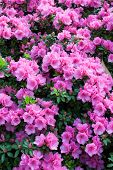 Pink Rhododendron flowers